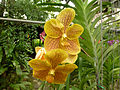 Orchids in Thailand 2013 2732.jpg