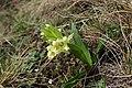 Orchis provincialis kz04.jpg