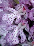 Orchis tridentata 08 mg-k.jpg