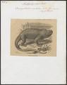 Oreocephalus cristatus - 1700-1880 - Print - Iconographia Zoologica - Special Collections University of Amsterdam - UBA01 IZ12800073.tif