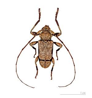 <i>Oreodera</i> genus of insects