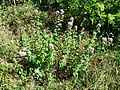 Origanum vulgare subsp. vulgare sl7.jpg