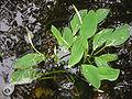 Orontium aquaticum5.jpg