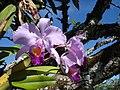 Orquideas Colombianas Melgar Tolima Colombia - panoramio.jpg