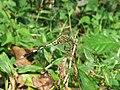 Orthetrum sabina - Green Marsh Hawk at Mayyil (1).jpg