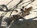 Orthoptera (32086801233).jpg