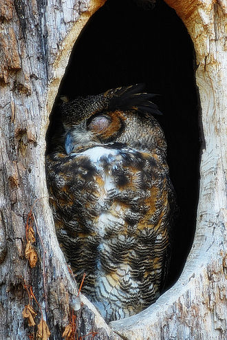 Owl - Great horned owl (Bubo virginianus) sleeping during daytime in a hollow tree
