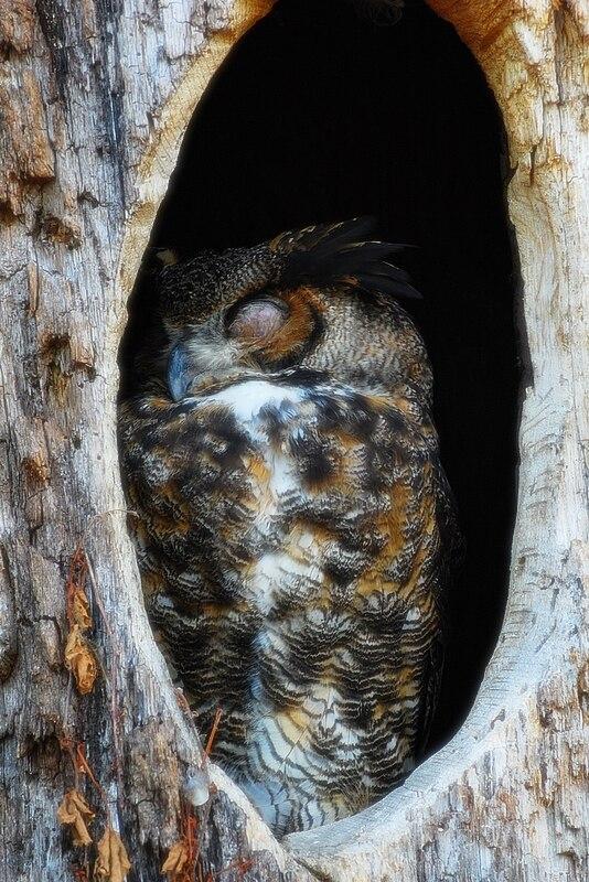 Owl sleeping in tree