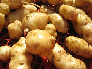Ozette potato