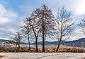 Pörtschach Halbinselpromenade Erlen und Ahorn 10012018 2232.jpg