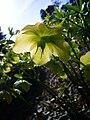 P1130506 Helleborus odorus (Ranunculaceae).JPG