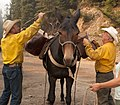 Packers loading pack mule with supplies (16375082845).jpg