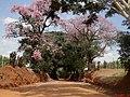 Paineiras floridas (Ceiba speciosa) ao lado da rodovia Comendador Pedro Monteleone - SP-351 após o descidão de Bebedouro rumo a Catanduva. - panoramio.jpg