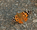 Painted Lady Vanessa cardui at Samsing, Duars, West Bengal W IMG 6291.jpg