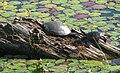 Painted Turtles Basking.JPG