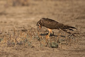 Regurgitation (digestion) - Image: Pallid harrier LRK Regurgitation 2