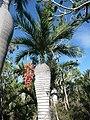 Palma cacheo de Oviedo con frutos.jpg