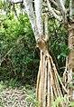 Pandanus heterocarpus stilt-roots - Grande Montagne.jpg