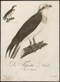 Pandion haliaëtus - 1800-1812 - Print - Iconographia Zoologica - Special Collections University of Amsterdam - UBA01 IZ18100273.tif