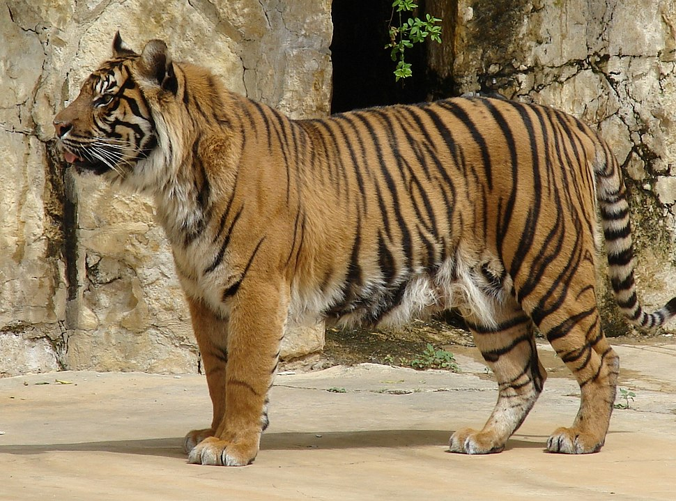 Panthera tigris sumatrae (Sumatran Tiger) close-up