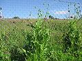 Papaver somniferum plant1 (15106147499).jpg