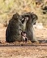 Papión chacma (Papio ursinus), parque nacional de Chobe, Botsuana, 2018-07-28, DD 66.jpg
