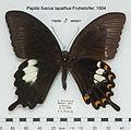 PapilioFuscusLapathusMUpUnAC1.jpg