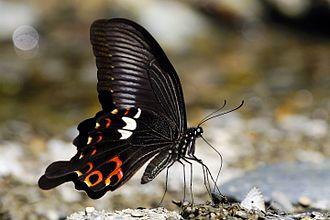 Papilio helenus - P. h. fortunius