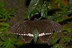 Papilio polytes-Kadavoor-2016-11-06-001.jpg