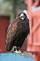 Parabuteo unicinctus -Gentleshaw Wildlife Centre, Staffordshire, England-8b.jpg