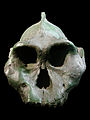 Paranthropus aethiopicus face (University of Zurich) blackbckgr.JPG