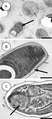 Parasite140027-fig5 Dictyocoela diporeiae Winters & Faisal, 2014 transmission electron micrographs.tif