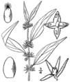 Parietaria pensylvanica BB-1913.png