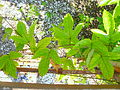 Passiflora coccinea 2.jpg