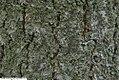 Paulownia tomentosa 15zz.jpg