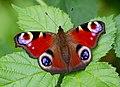 Peacock Butterfly (7822792836).jpg