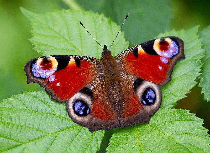 File:Peacock Butterfly (7822792836).jpg