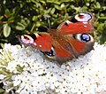 Peacock butterfly by Flycatcher.jpg