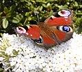 Peacock butterfly by Flycatcher.jpg