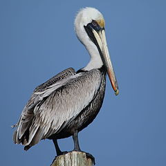 Pelecanus occidentalis Caye Caulker 03.JPG