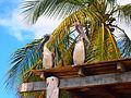Pelicanos (Pampatar, Isla de Margarita).JPG