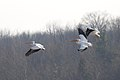 Pelicans at Eagle Creek Park (6 of 7).jpg
