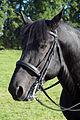 Percherons attelés mondial du cheval percheron 2011Cl J Weber29 (23715638019).jpg