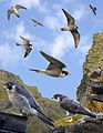 Peregrine Falcon from the Crossley ID Guide Britain and Ireland.jpg