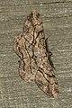 Peribatodes rhomboidaria (19674882323).jpg