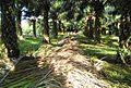 Perkebunan kelapa sawit milik rakyat (69).JPG