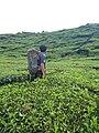 Perkebunan teh di lereng gunung talang solok sumatera barat.jpg