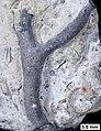 Permineralized bryozoan.jpg
