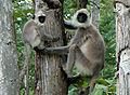 PeterMaas-India-MudumalaiNationalPark-Langur2.jpg