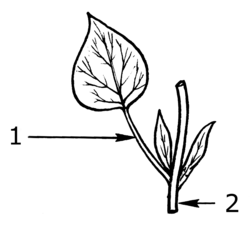 Petiole (PSF).png
